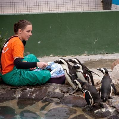 Voluntaria ayudando a cuidar a los pingüinos durante su voluntariado con animales en Sudáfrica.